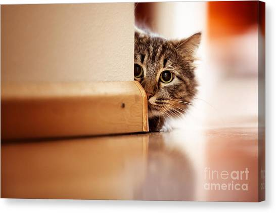 Indoors Canvas Print - Curious Norwegian Forest Cat Looking by Joop Snijder Photography
