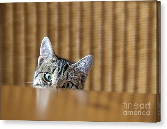 Purebred Canvas Print - Curious Young Kitten Looking Over A by Dirk Ott