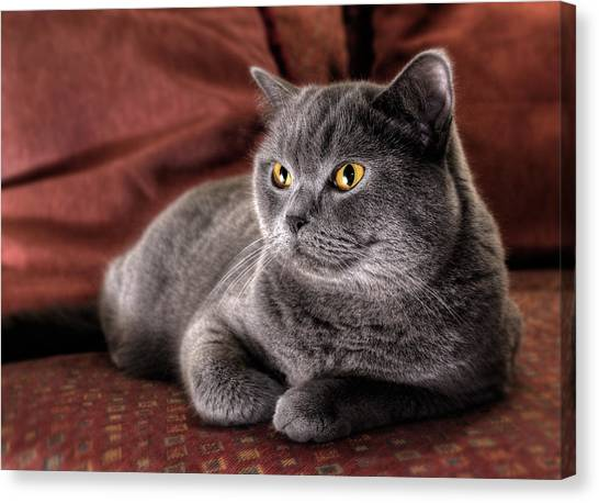 Cushy Kitty - British Blue Shorthair Cat Canvas Print