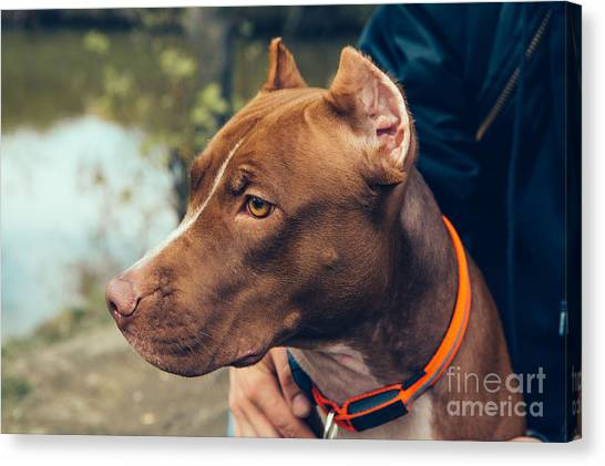 Purebred Canvas Print - Cute Beautiful Dog Pit Bull by Irina Bg