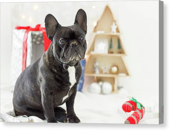 French Bulldog Gifts Canvas Print - Cute French Bulldog Sitting In Front Of Christmas Gifts And