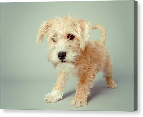 Petter Canvas Print - Cute Puppy by Square Dog Photography 255fde48f382