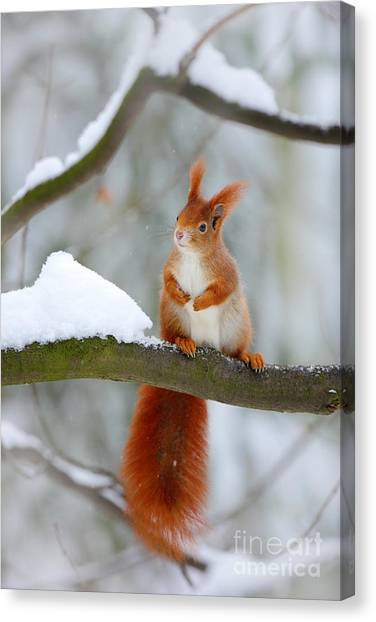 Grey Background Canvas Print - Cute Red Squirrel In Winter Scene With by Ondrej Prosicky