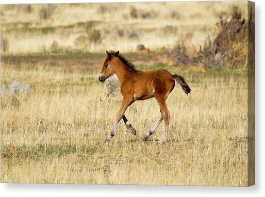 Cute Wild Bay Foal Galloping Across A Field Canvas Print