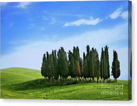 Cypress Stand Canvas Print