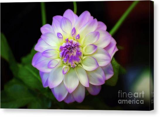 Canvas Print featuring the photograph Dahlia Eveline by Patti Whitten