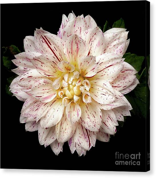 Canvas Print featuring the photograph Dahlia 'picasso' by Ann Jacobson