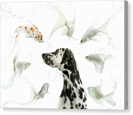 Dalmation Staring At Spotted Fish Canvas Print