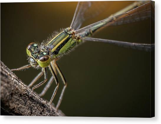 Damselfly On The Diagonal Canvas Print