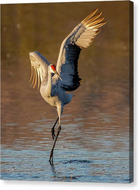 Dance Of The Sandhill Crane Canvas Print