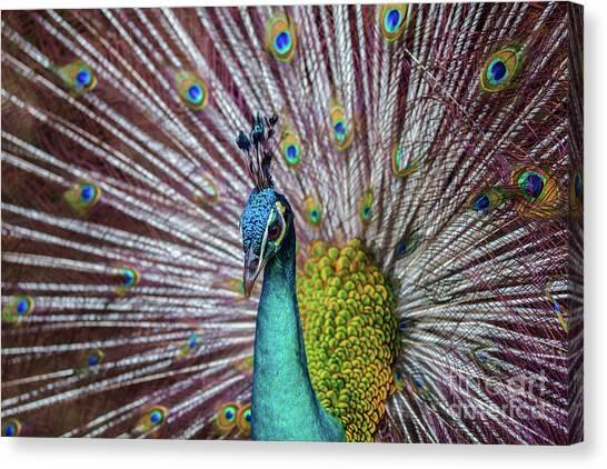 Dancing Indian Peacock  Canvas Print