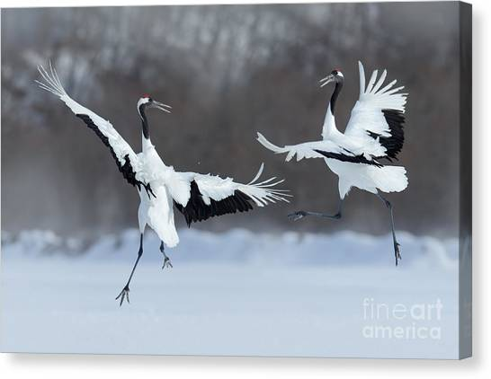 Dancing Pair Of Red-crowned Cranes With Canvas Print by Ondrej Prosicky