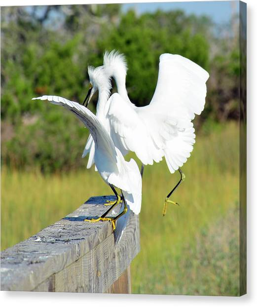 Dancing Snowy Egrets Canvas Print