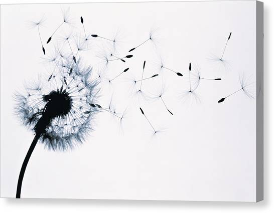 Dandelion Taraxacum Officinale Seed Canvas Print