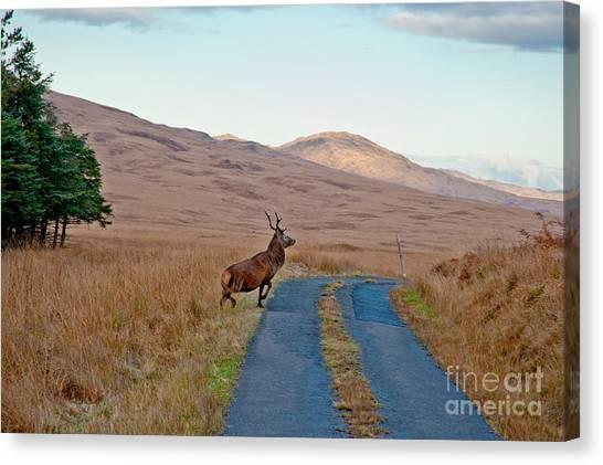 British Canvas Print - Deer Crossing Road On Jura by Jaime Pharr