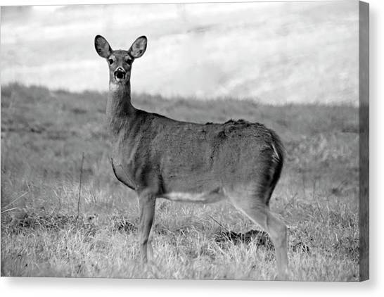 Canvas Print featuring the photograph Deer In Black And White by Angela Murdock