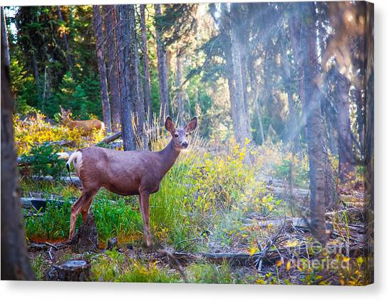 White-tailed Deer Canvas Print - Deer Standing In Sunshine In Forest by Lynn Yeh