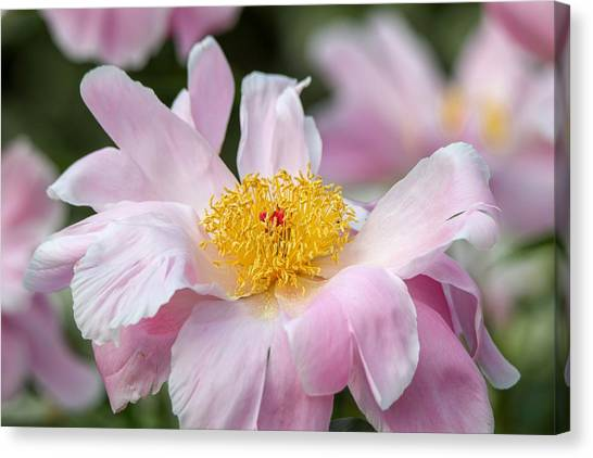 Delicate Pink Peony Canvas Print