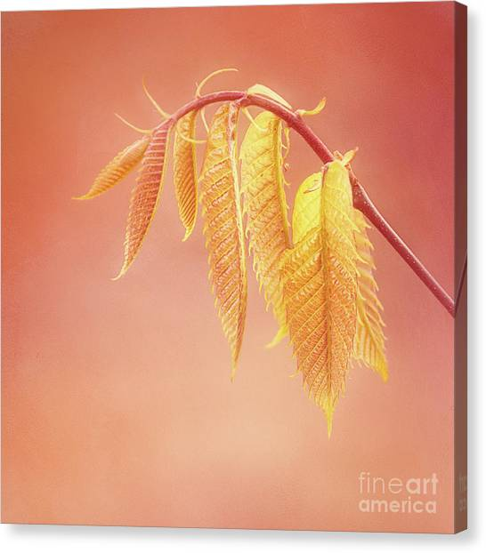 Delightful Baby Chestnut Leaves Canvas Print