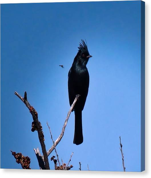 Desert Phainopepla And Dragonfly Canvas Print