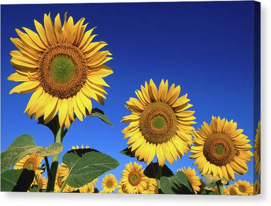 Detail Of Sunflowers, Tuscany, Italy Canvas Print by John Elk Iii