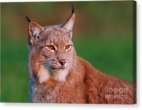 Lynx Canvas Print - Detail Portrait Of Lynx, With Beautiful by Ondrej Prosicky