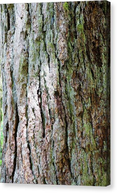 Details, Old Growth Western Redcedars Canvas Print