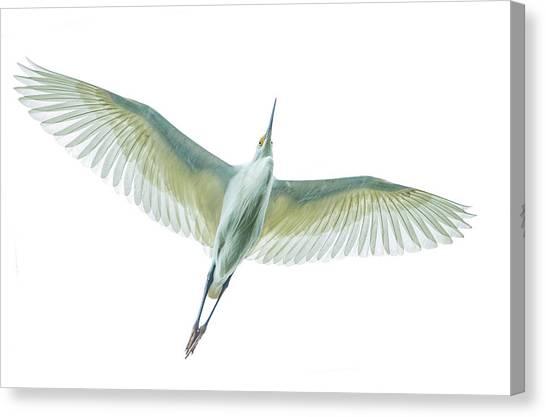 Canvas Print - Dimorphic Egret Egretta Dimorpha by Panoramic Images