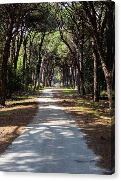 Dirt Pathway In A Mediterranean Pine Forest Canvas Print