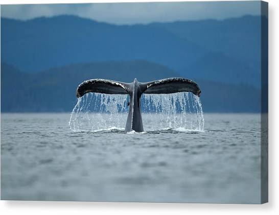 Diving Humpback Whale, Alaska Canvas Print