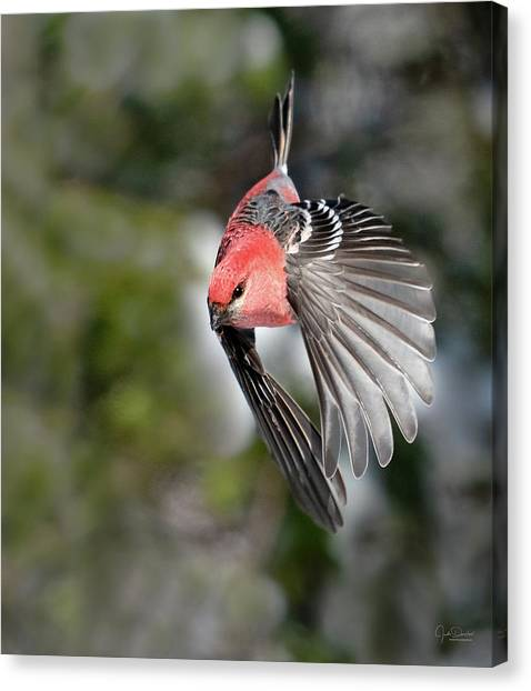 Diving Pine Grosbeak Canvas Print