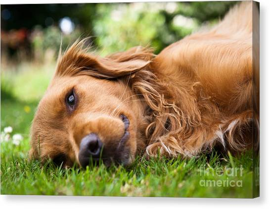 Happiness Canvas Print - Dog Lieing On Its Side Looking Into The by Sam Chadwick
