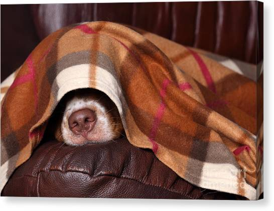 Purebred Canvas Print - Dog Sleeps Under The Blanket by Ivanova N