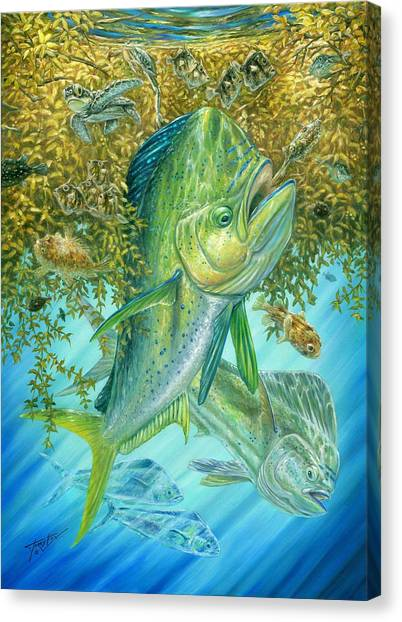 Dorados Hunting In Sargassum Canvas Print