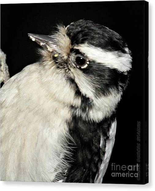 Downy Woodpecker Female Canvas Print