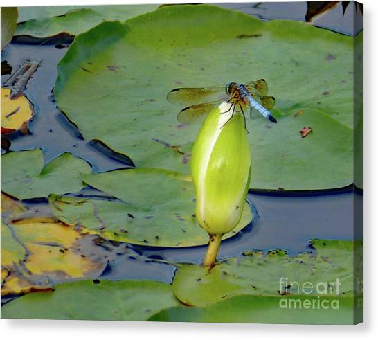 Canvas Print featuring the photograph Dragonfly On Liliy Bud by PJ Boylan