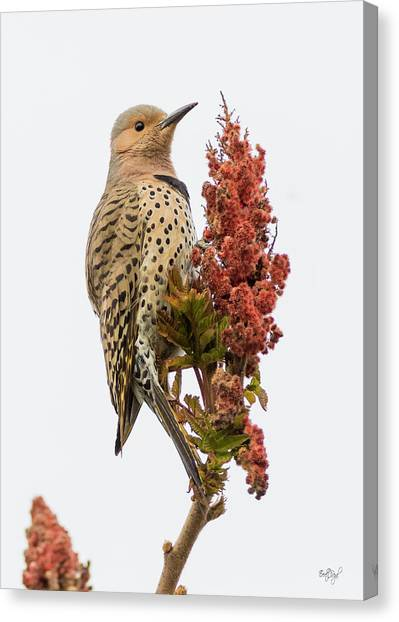 Northern Flicker Canvas Print - Dressed To Kill by Everet Regal