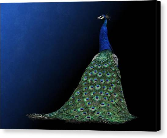 Dressed To Party - Male Peacock Canvas Print