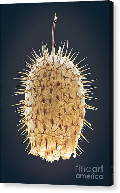 Botany Canvas Print - Dried Fruit Of Echinocystis Lobata by Mike Laptev