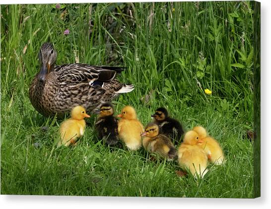Duck And Cute Little Ducklings Canvas Print