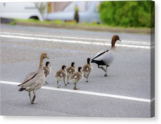Duck Family Crossing The Road Canvas Print by Photo By Tse Hon Ning