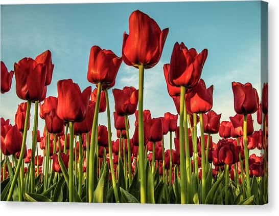 Canvas Print featuring the photograph Dutch Red Tulip Field. by Anjo Ten Kate