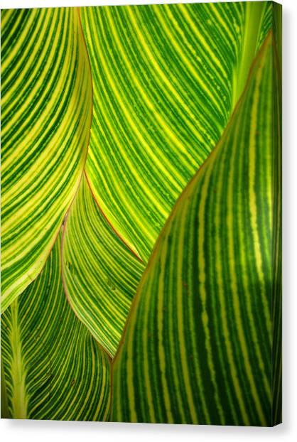 Dwarf Canna Lily Canvas Print by Brenda Foran