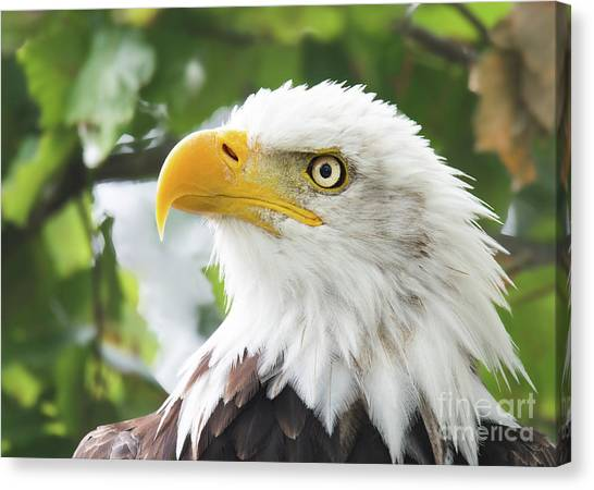 Bald Eagle Perched In A Tree Canvas Print