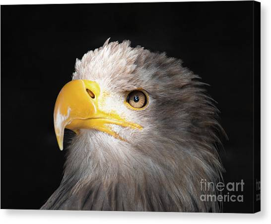 Eagle Portrait Canvas Print