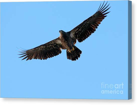 Eagle In Flight Canvas Print - Eagle Wings by Sharon Talson