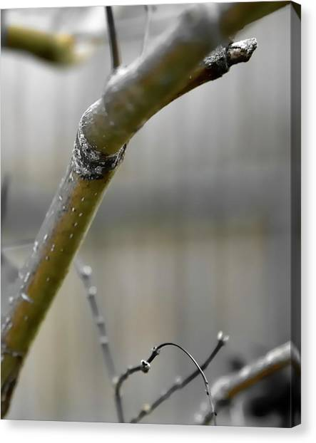 Canvas Print featuring the photograph Early Winter Branch by Jerry Sodorff