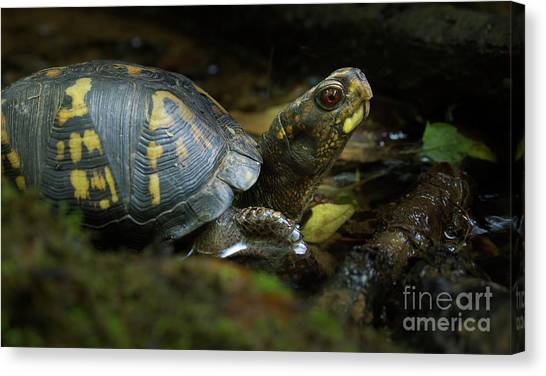 Box Turtles Canvas Print - Eastern Box Turtle 6 by Mike Eingle