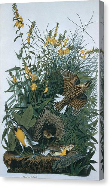 Meadowlarks Canvas Print - Eastern Meadowlarks Sturnella Magna by N A S.