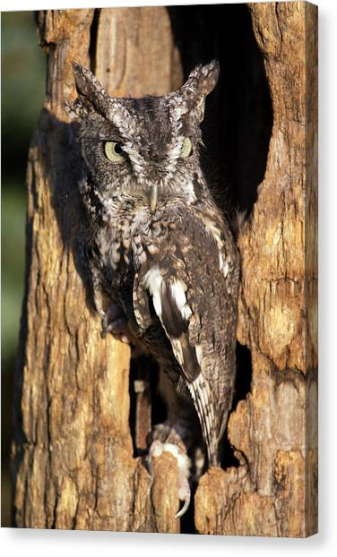 Eastern Screech Owl 92515 Canvas Print